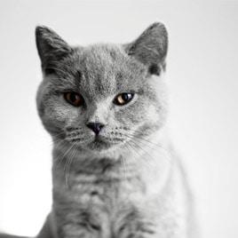 Lux und Poppy - British Kurzhhaar Katzen