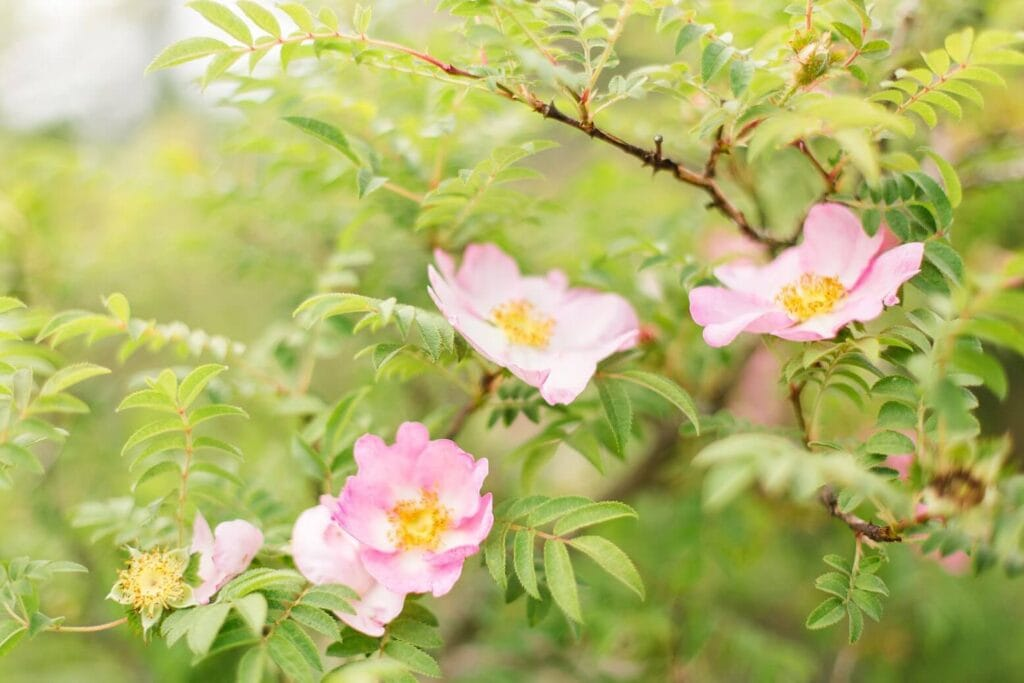 Hagebutten Blüten