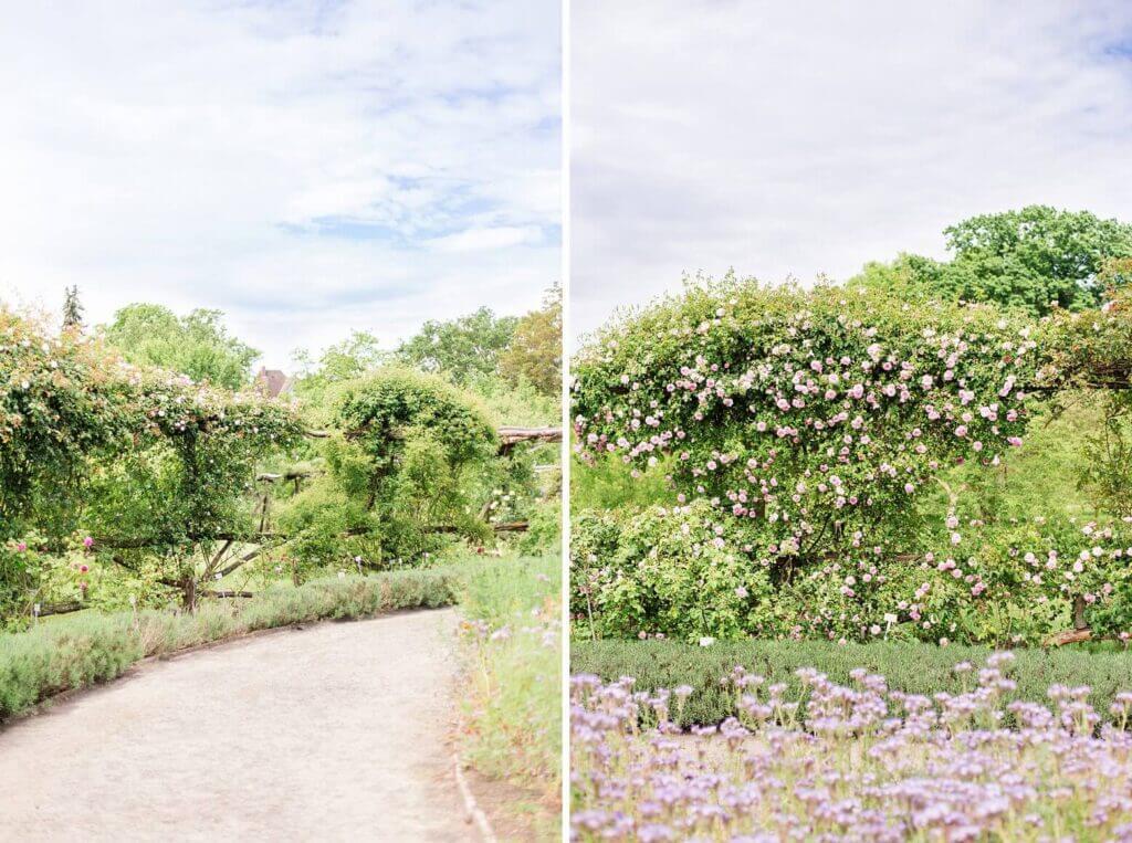 Ein Rosengarten mit Rosenranken