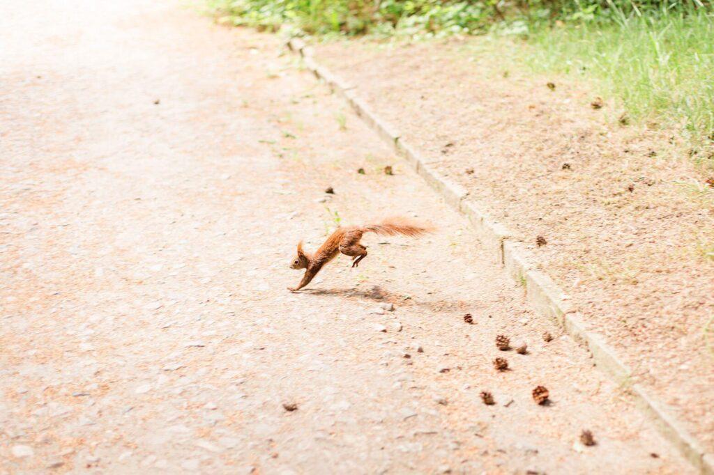 Ein Eichhörnchen rennt über den Weg
