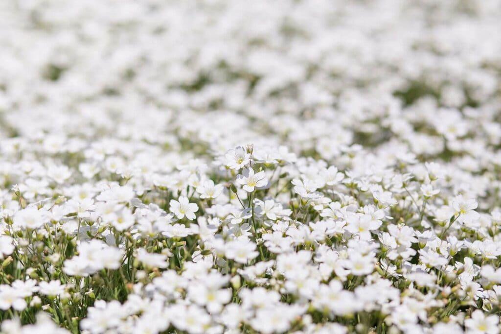 Nahaufnahme von vielen kleinen weißen Blumen