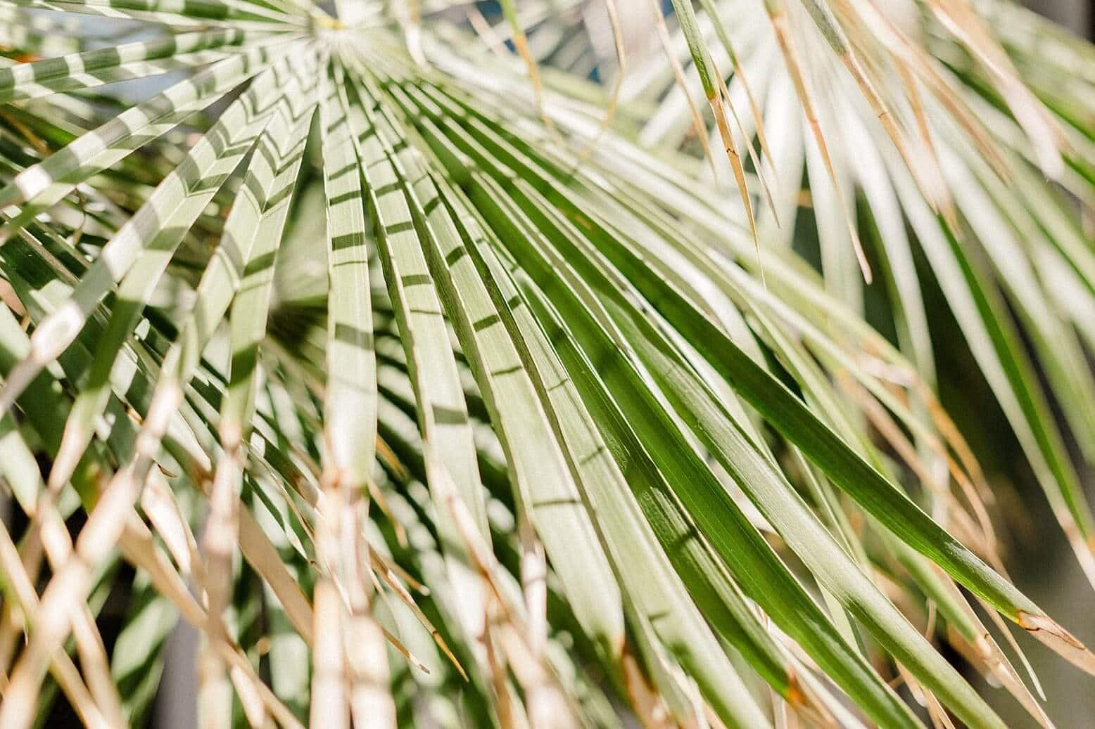 Nahaufnahme von Palmen Blättern