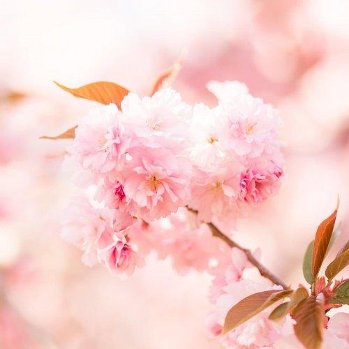Rosa Kirschblüten in Nahaufnahme